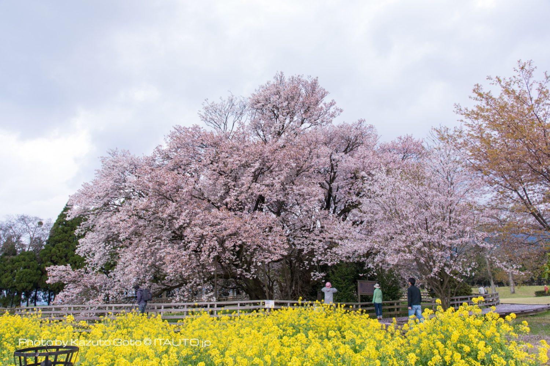 南阿蘇村 一心行の大桜 2017年