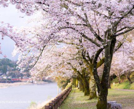 2017年桜巡り