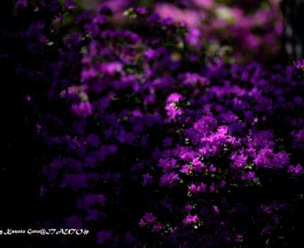 つつじヶ丘のミヤマキリシマ撮影